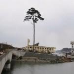 L'albero del miracolo di Rikuzentakata
